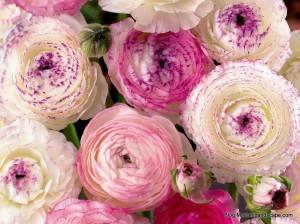 Persian-buttercup-Pink-Picotee