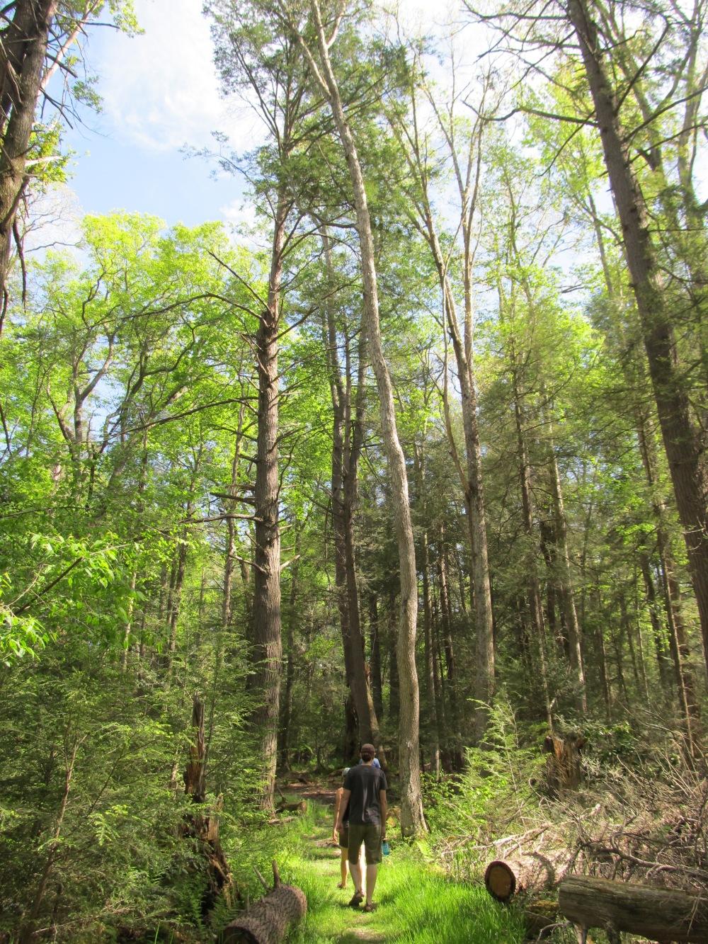 Hemlock Forest WV